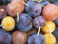Beach plum fruit show a wide range of color variation.